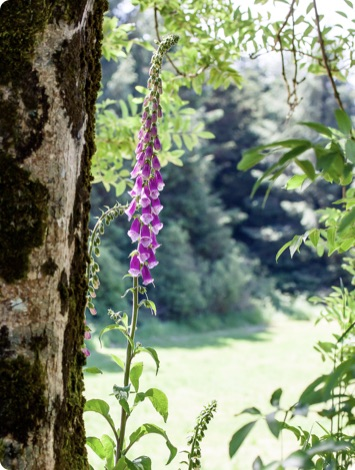 Purple foxgloves blooming in spring in the garden on a sunny day.